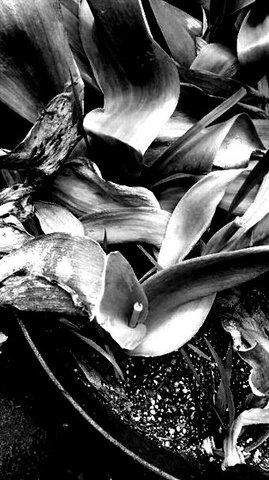 写真・しおれたチューリップの葉.JPG