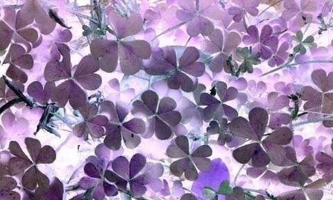 写真・カタバミの葉.jpg