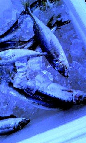 写真・冷やされた魚.jpg