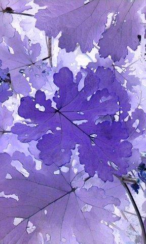 写真・紫色の葉.jpg