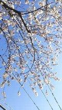 中野桜まつり.JPG