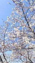 中野桜まつり1.JPG